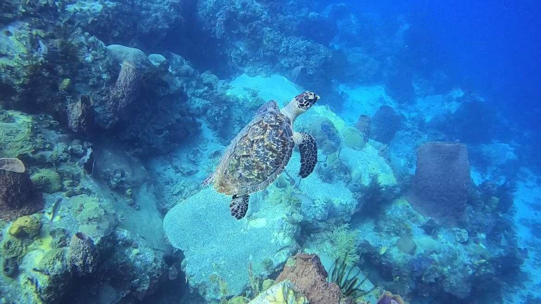 Regarder Quoi de mieux qu'une tortue pour oublier ses appréhensions en plongée bouteille ?
