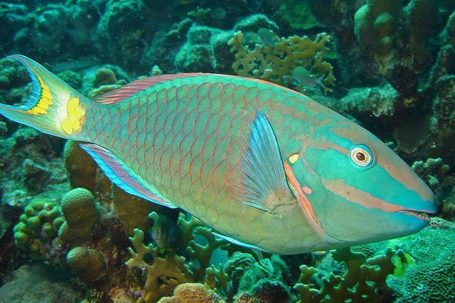La pêche du poisson perroquet interdite à Saint-Vincent et les Grenadines – Martinique la 1ère