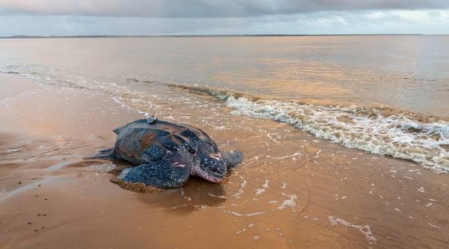 Survivre ou se reproduire, les tortues luth face au défi climatique ?