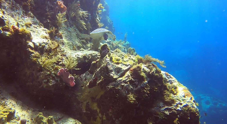 Regarder Festival de tortues à la pointe Lézarde pour un baptême de plongée : la classe