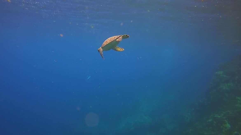 Regarder Une tortue verte vient faire la belle pendant un baptême de plongée depuis notre catamaran : la classe !