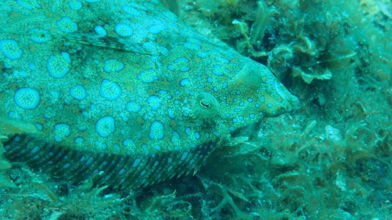 Le carrelet : ce poisson plat est assez fréquemment observé aux Anses d'Arl…
