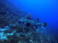 Voici le gros diodon : à l'instar du fugu au Japon, il contient une toxine dans …