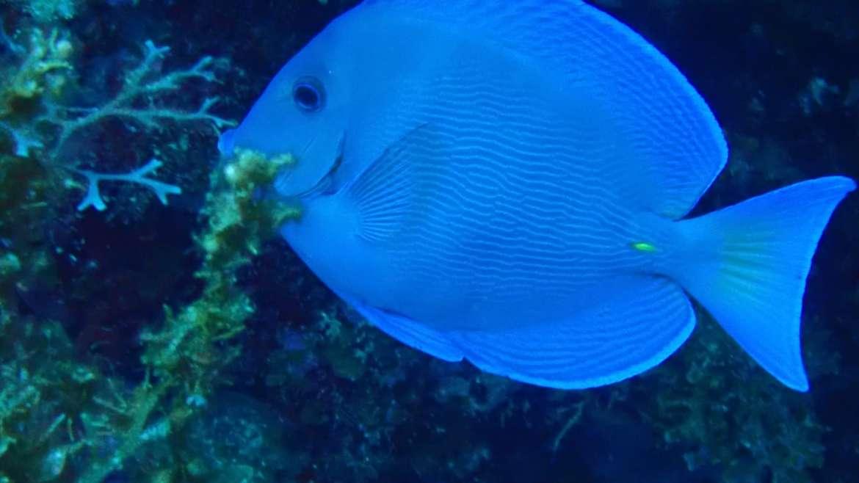 """Le poisson chirurgien, reconnaissable à sa couleur bleue et ses deux """"épines"""" ja…"""